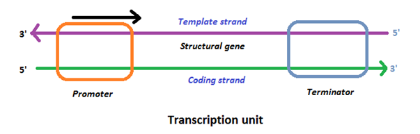Transcription unit