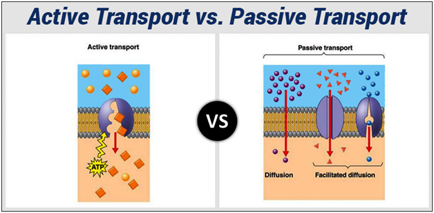 Difference Between Active Transport And Passive Transport