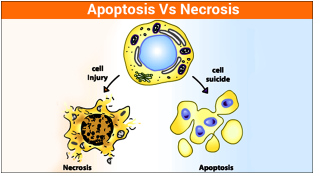 Difference Between Apoptosis and Necrosis