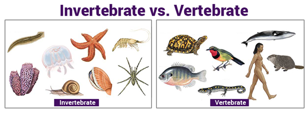 differences between invertebrates and vertebrates