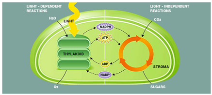 Light Dependent Reactions