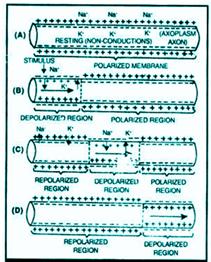 Mechanism of Transmission of Nerve Impulse