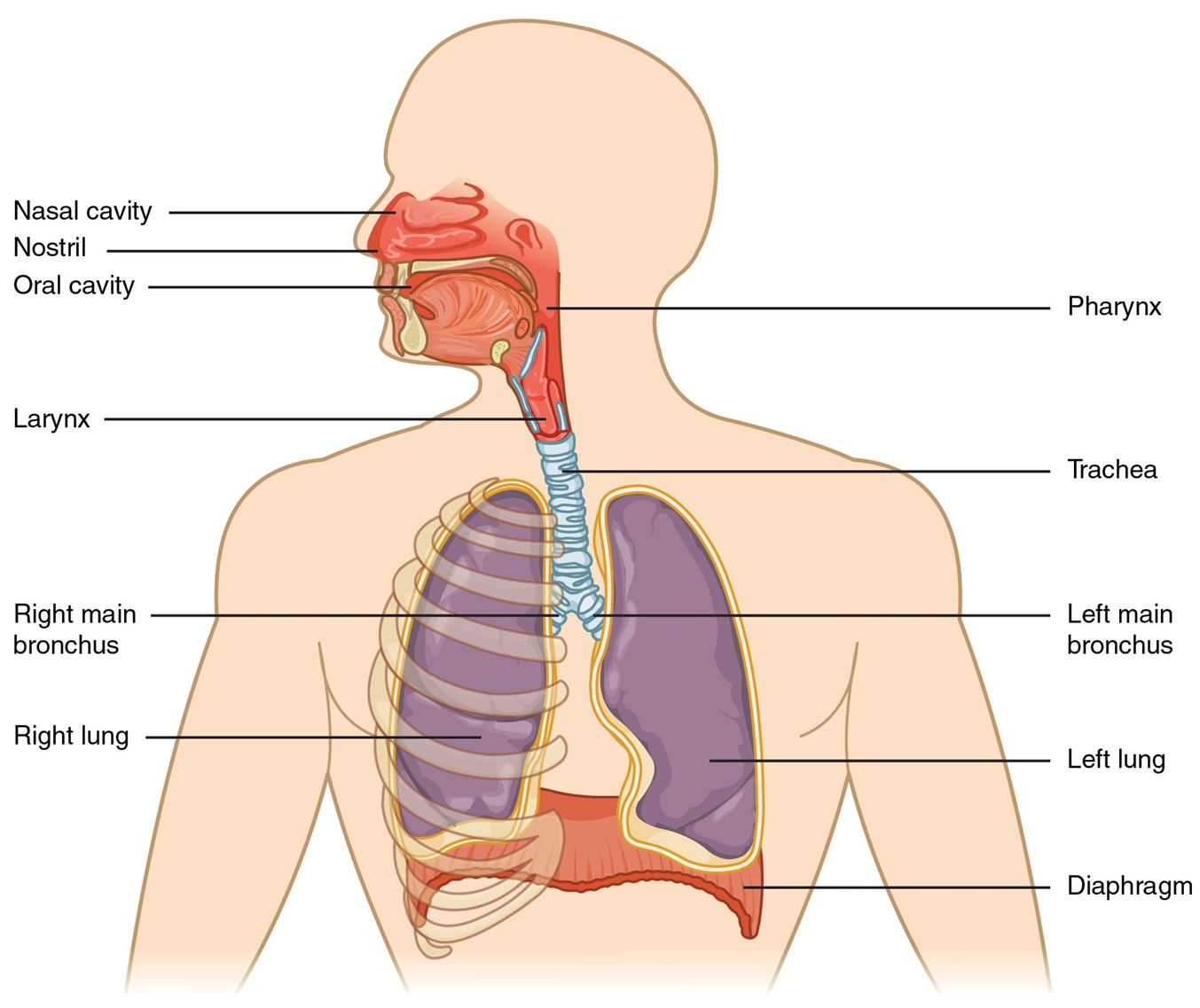 Explore Everything You Need To Know About The Respiratory System