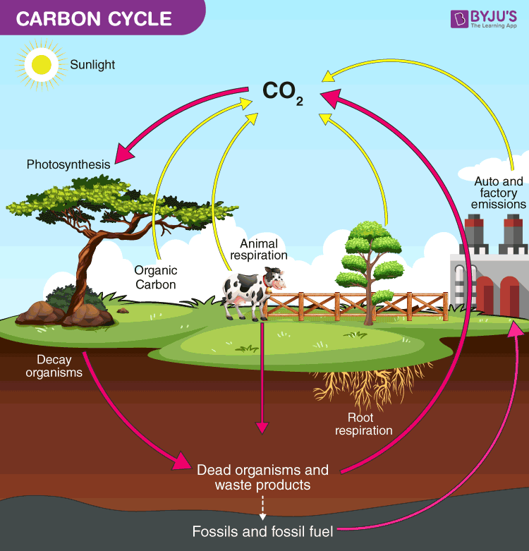 Carbon Cycle diagram - Important diagrams class 9 science