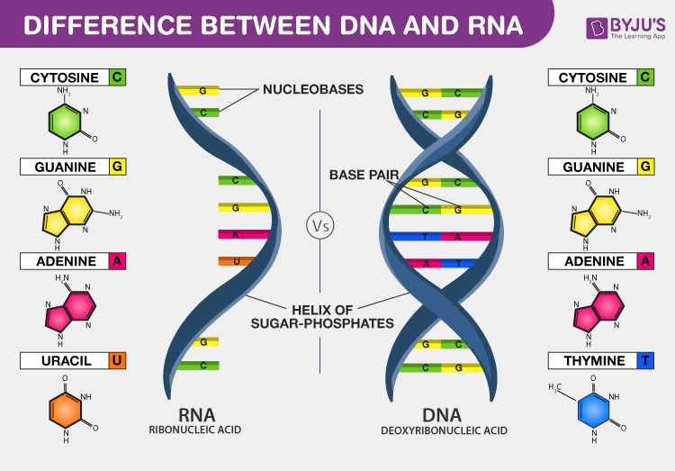 DNA vs RNA - Introduction and Differences between DNA and RNA