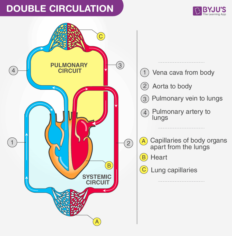Pulmonary And Systemic Circulation Concept Map.Double Circulation Blood Circulation In Humans Byju S