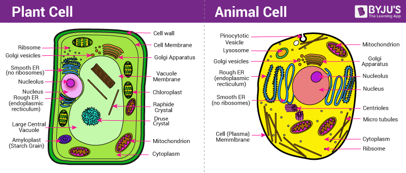 Difference Between Plant And Animal Cell Are Explained In Detail