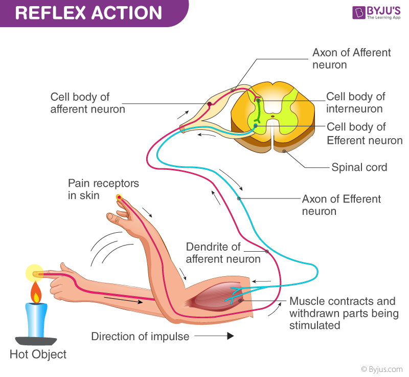Reflex Action - Definition, Process and Examples