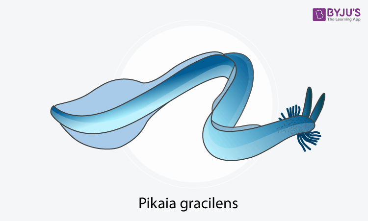 Pikaia gracilens - First vertebrate