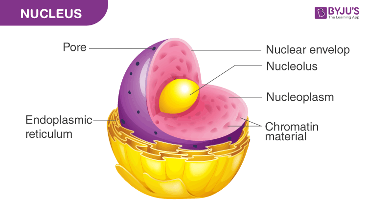 What Is A Nucleus