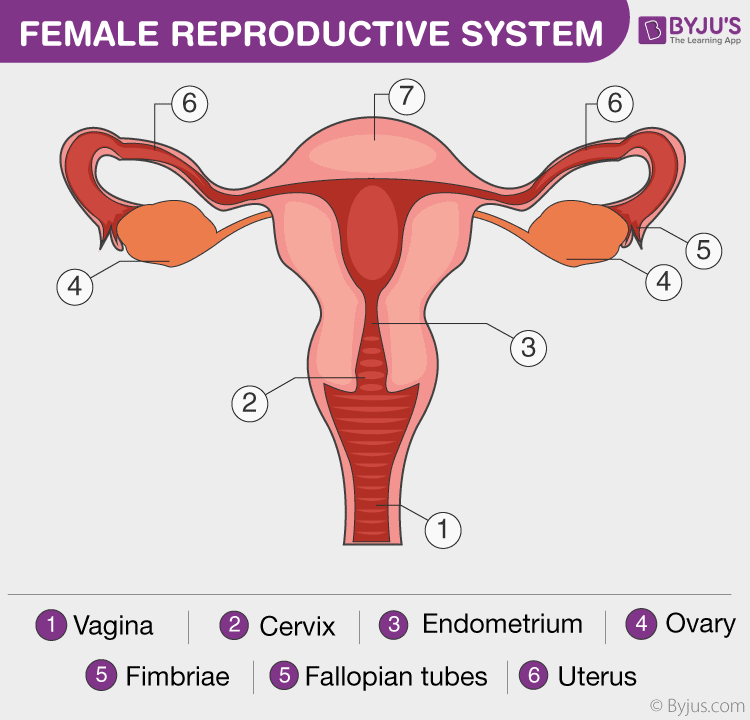 Female Reproductive System Overview Anatomy And Physiology