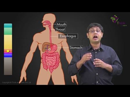 Human Digestive System And Digestion