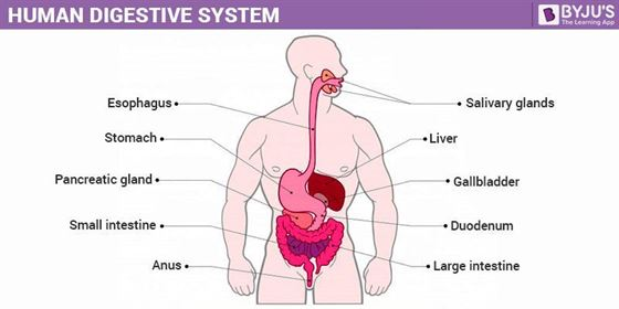 Digestive System Diagram | Human Digestive System Structure And Function Of Digestive System