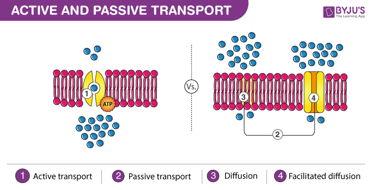 Active-and-Passive-Transport-Its-Difference