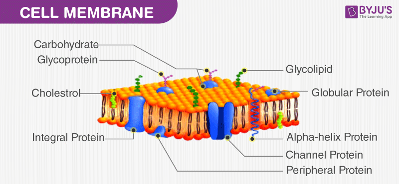 Cell Wall and Cell Membrane- Structure, Functions and ...