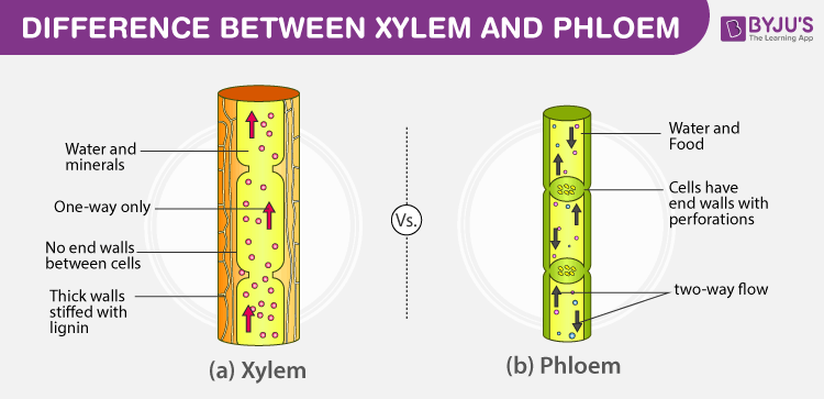 Difference Between Xylem And Phloem - Major Differences