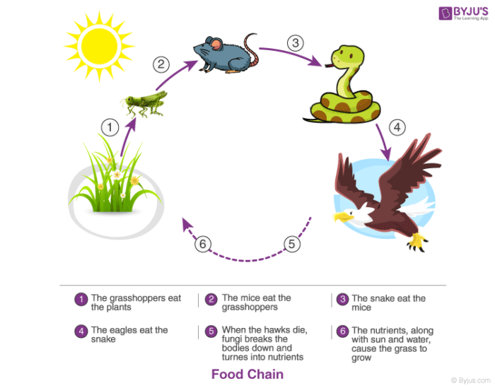 Food Chain in Ecosystem