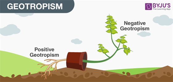 Tropic Movements In Plants- Different Types of Tropic Movements