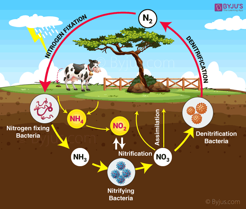 Nitrogen cycle diagram for class 9 science