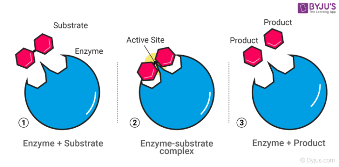 Enzyme - Catalysis