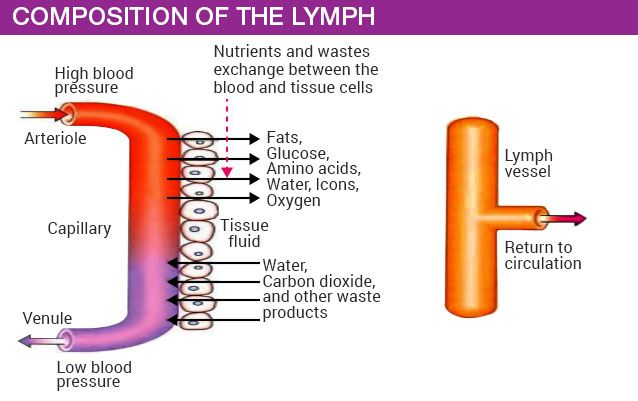 Composition of the lymph