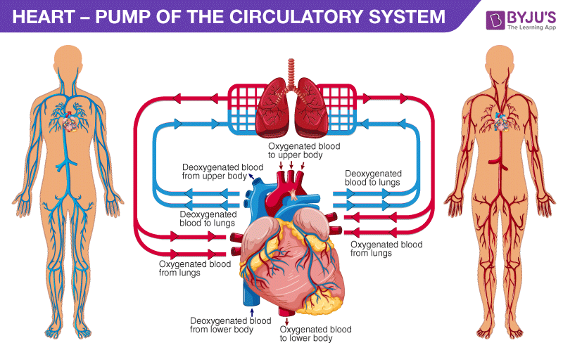 Pulmonary circulation and Systemic circulation