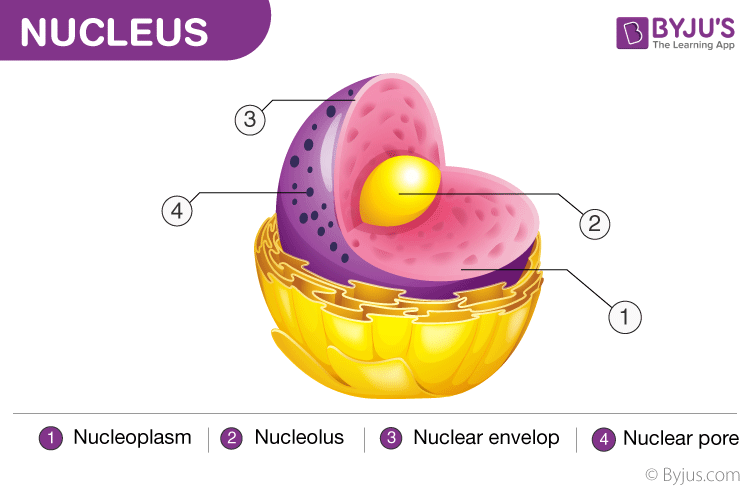 Nucleus Cell Organelles