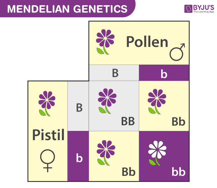 Mendelian Genetics Explore Mendel U0026 39 S Laws Of Inheritance