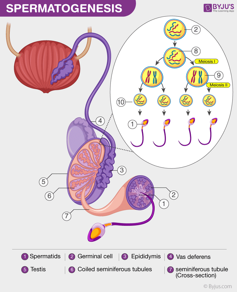 Process of Spermatogenesis