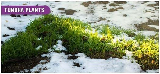 Only plants with shallow roots grow in the tundra because the deep layers of permanently frozen ice prevents the roots from breaking through them (permafrost)