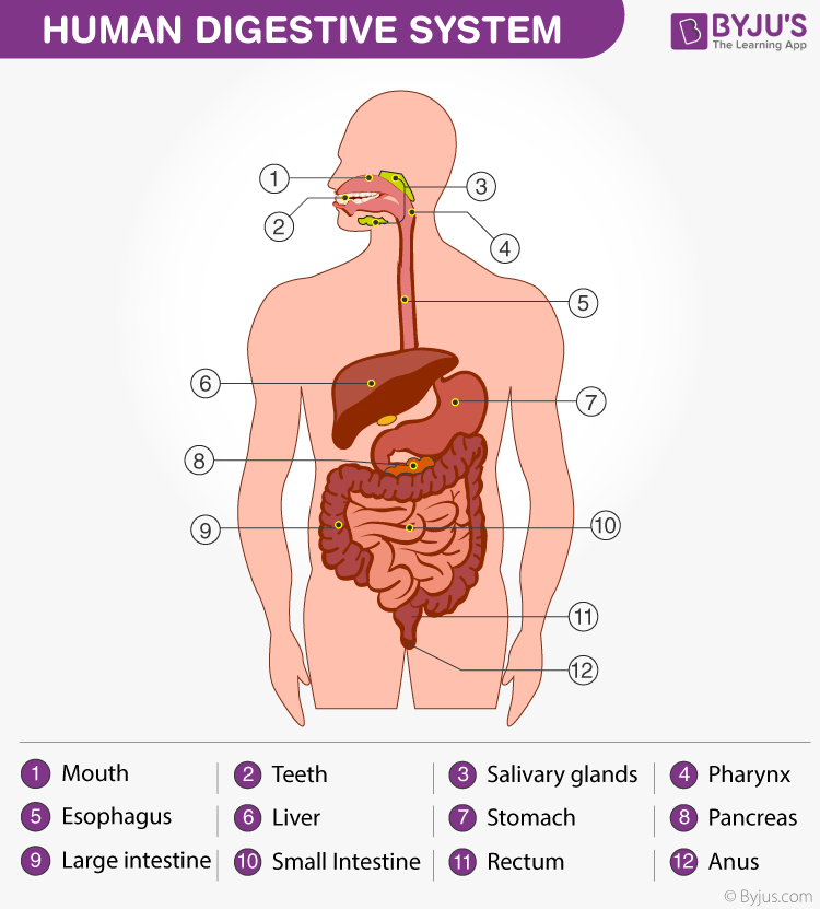 Alimentary Canal - Structure and Functions Of Alimentary Canal