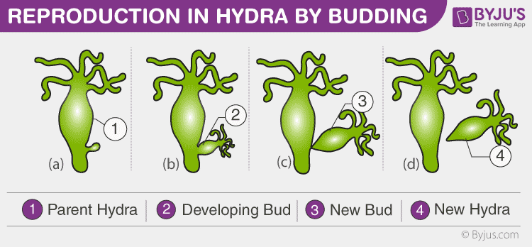 pictures of hydra reproducing