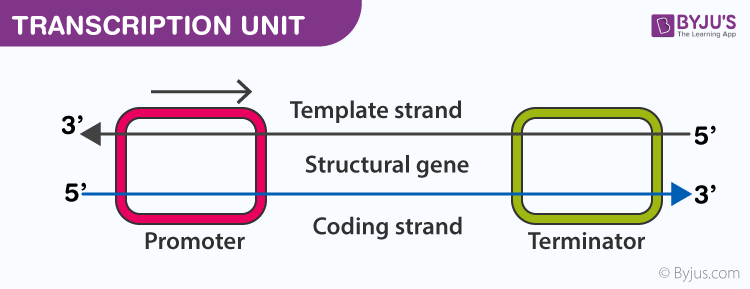 Central Dogma : DNA to RNA to Protein