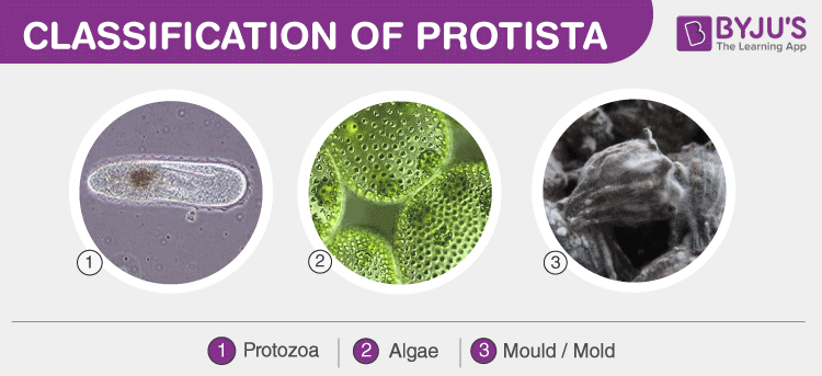 Classification of Protista