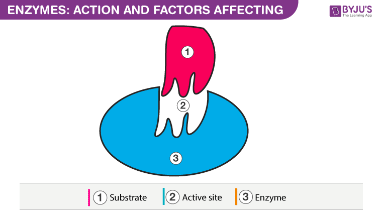 Enzyme action and Factors affecting the Enzyme Activity