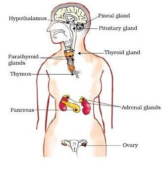 Endocrine glands in human beings- female