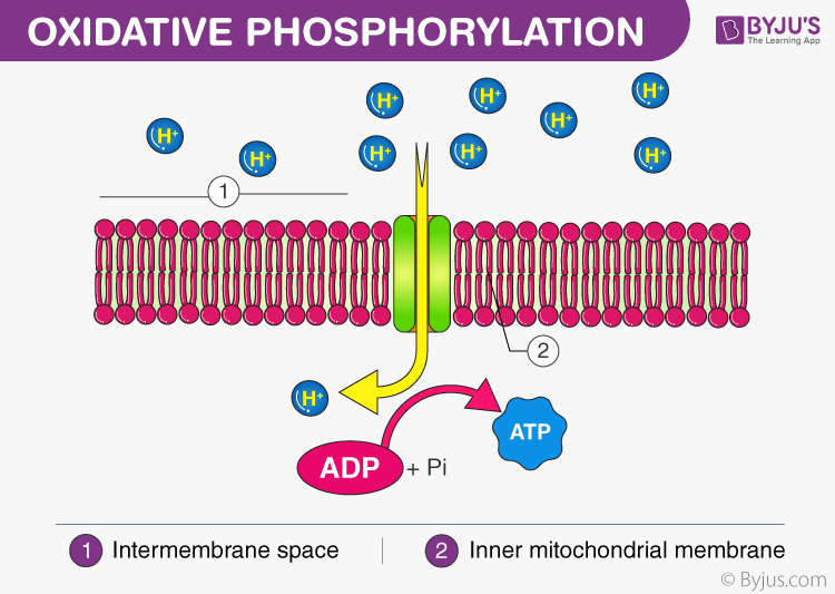 Phases of Respiration - Oxidative Phosphorylation