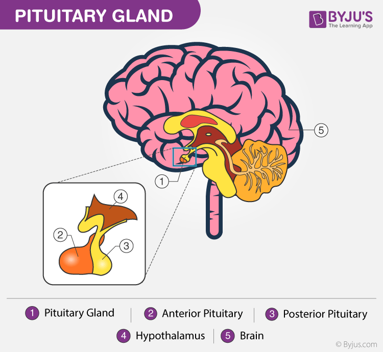 Pituitary Gland Discover Its Anatomy Functions And Its Disorders