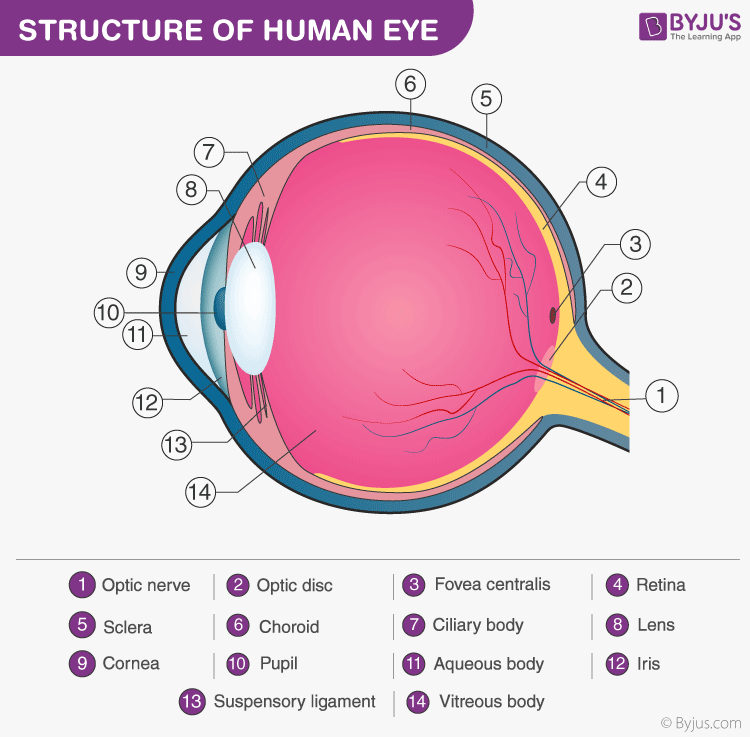 Structure And Functions Of Human Eye With Labelled Diagram
