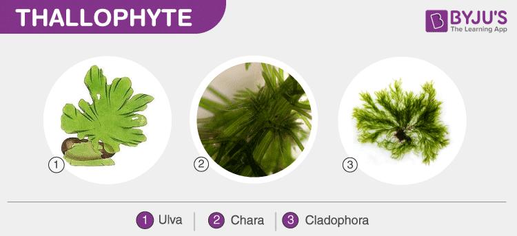 Thallophyte