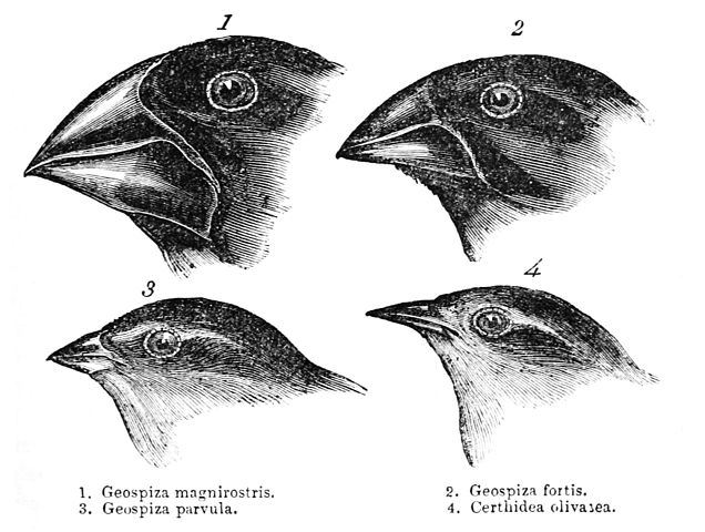 Adaptive Radiation Darwin's finches