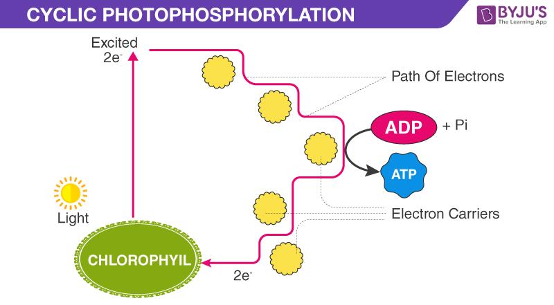 Cyclic Photophosphorylation Noncyclic Photophosphorylation