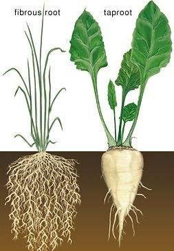 Types of Roots - Fibrous root and Taproot