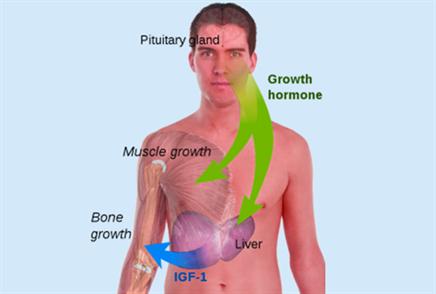 Hormones activities
