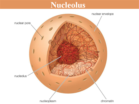 nucleolus structure functions and its comparison with. Black Bedroom Furniture Sets. Home Design Ideas