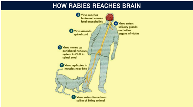 How Rabies is transmitted