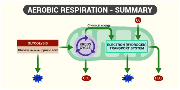 Respiration In Plants Respiration In Roots Stem And In Leaves