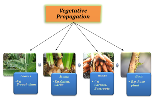 Four examples of asexual reproduction in plants