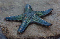 Starfish - Phylum Echinodermata