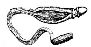 Balanoglossus - Phylum Hemichordata